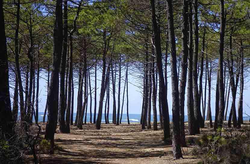 Foret de Gascogne, pin des landes, Vacances